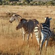 Stock Photo: Burchell's Zebra