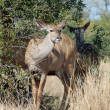Kudu Antelope — Stock Photo