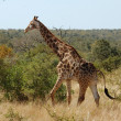 Giraffe in Africa — Stock Photo #1941337