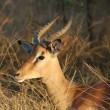 Africa Wildlife: Impala - Stock Photo