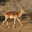 Stock Photo: ImpalAntelope