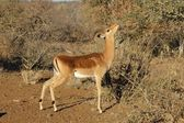 Impala Antelope in South Africa. — Stock Photo