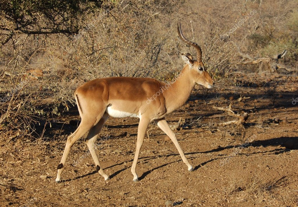 Male Impala antelope (Aepyceros Melampus) in the Kruger Park, South Africa. — Stock Photo #1941576