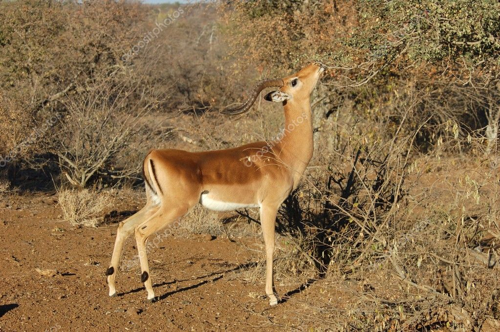 Impala Antelope in South Africa. — Stock Photo #1942507