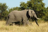 An African Elephant (Loxodonta africana) in the Kruger Park, South Africa. — Stock Photo