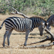 Stock Photo: AfricWildlife: Burchell's Zebra