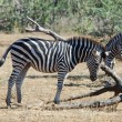 African Wildlife: Burchell's Zebra — Stock Photo