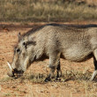 Wildlife: Warthog — Stock Photo