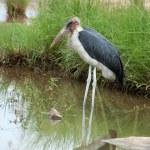 Marabou stork — Stock Photo #2006913