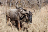 Blue Wildebeest — Stockfoto