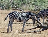 African Wildlife: Burchell's Zebra — Stock Photo