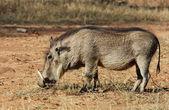 Wildlife: Warthog — Stock Photo