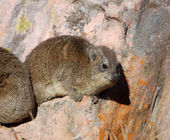 African Rock Hyrax — Stock Photo