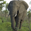 Wildlife: African Elephant - Photo