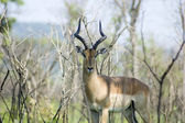 Impala antelope — Photo