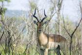 Impala antilop — Stok fotoğraf