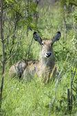 Waterbuck (Kobus ellipsiprymnus) — Stockfoto