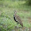 Thick-knee bird — Stock Photo