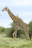 Giraffe in Africa — Stock Photo