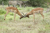 Impala fight — Stockfoto