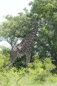 Giraff i afrika — Stockfoto