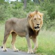 African Lion — Stock Photo #2582749