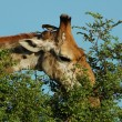 Stock Photo: Giraffe (giraffcamelopardalis)