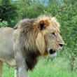 African Lion — Stock Photo #2597672