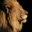 Big male African lion — Foto Stock