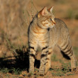 Stock Photo: Africwild cat