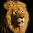 Big male African lion — Stock Photo #1653374