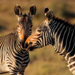 Cape Mountain Zebras - Stock Photo