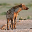 Spotted Hyena — Stock Photo #1654770