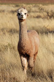Alpaca (Vicugna pacos) — Stock Photo