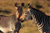 Cape Mountain Zebras — Stock Photo