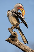 Yellow-billed hornbill — Stock Photo