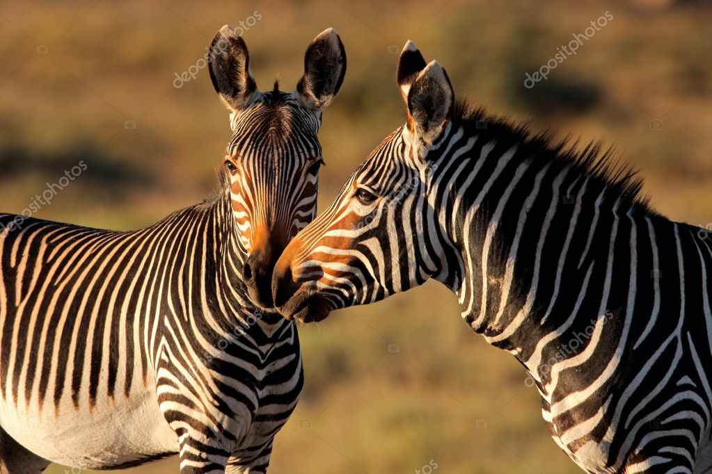 Endangered Cape Mountain Zebras (Equus zebra), Mountain Zebra National Park, South Africa — Stock Photo #1653425