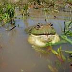 African giant bullfrog — Stock Photo #1715678