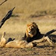 African lion pair - Stock Photo