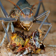Stock Photo: Armoured ground cricket
