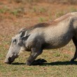 Stock Photo: Feeding warthog