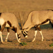 Royalty-Free Stock Photo: Fighting Gemsbok