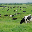 Freisian dairy cows — Stock Photo