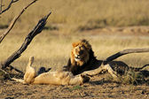 African lion pair — Stock Photo