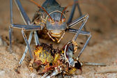 Armoured ground cricket — Stock Photo