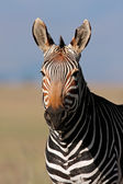 Cape Mountain Zebra portrait — Stock Photo