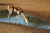 Drinking springbok antelope — Stock Photo