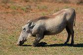 Alimentação warthog — Fotografia Stock