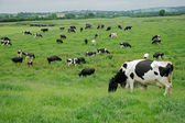 Freisian dairy cows — Foto Stock