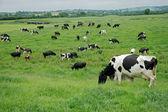 Freisian dairy cows — Stock Photo